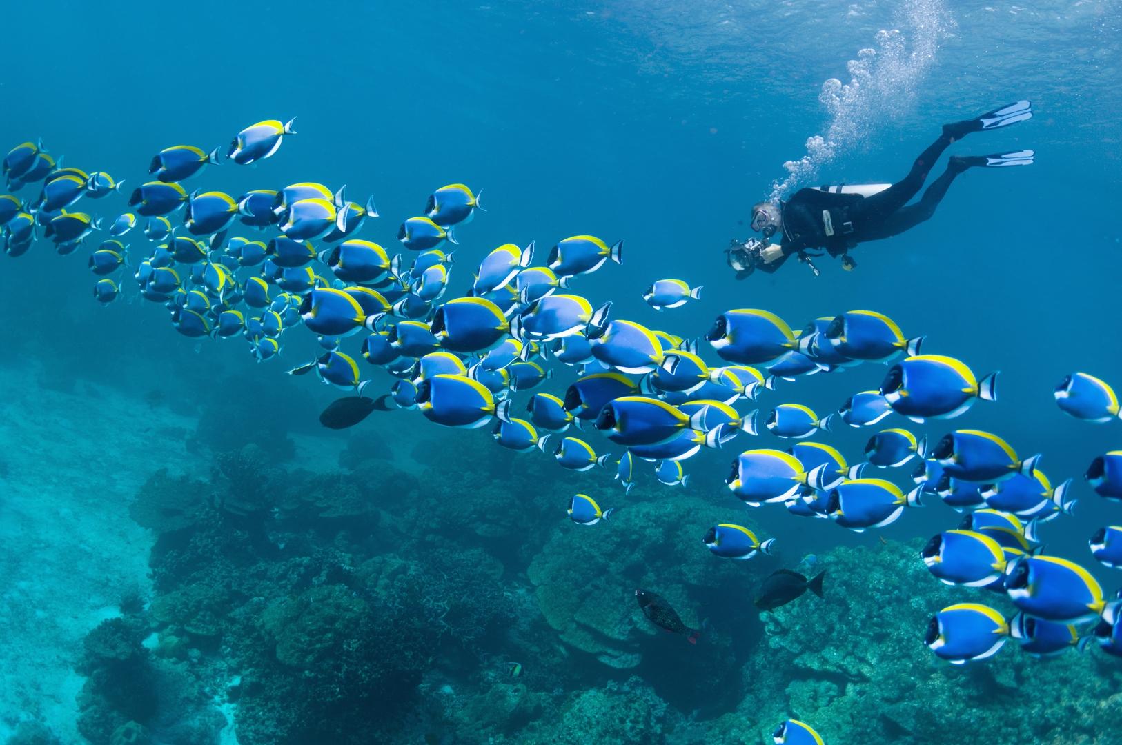 Powderblue surgeonfish (Acanthurus leucosternon) with a scuba diver taking pictures.  Andaman Sea, Thailand.